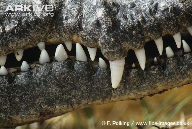 Cận cảnh loài quái vật ăn thịt đáng sợ nhất vùng đầm lầy Florida 1