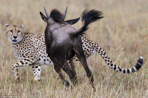 Báo đốm hung hãn bị linh dương đầu bò truy sát đến cùng 5