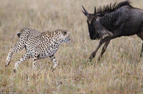 Báo đốm hung hãn bị linh dương đầu bò truy sát đến cùng 6