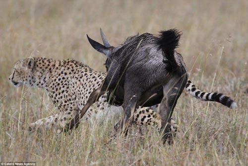 Báo đốm hung hãn bị linh dương đầu bò truy sát đến cùng 7