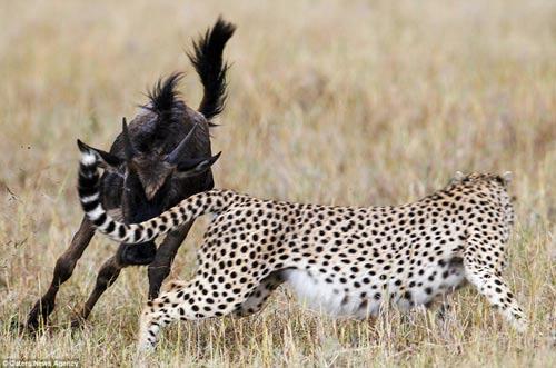 Báo đốm hung hãn bị linh dương đầu bò truy sát đến cùng 4