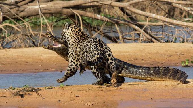 Báo gấm liều mình săn cá sấu Nam Mỹ 9