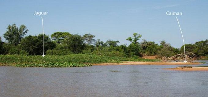Báo gấm liều mình săn cá sấu Nam Mỹ 4