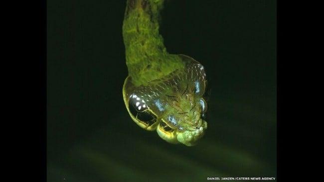 Rùng mình mục sở thị loài sâu đầu rắn đáng sợ 11