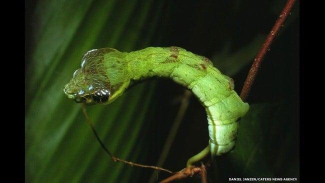 Rùng mình mục sở thị loài sâu đầu rắn đáng sợ 12