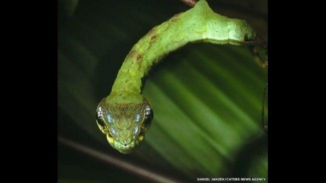 Rùng mình mục sở thị loài sâu đầu rắn