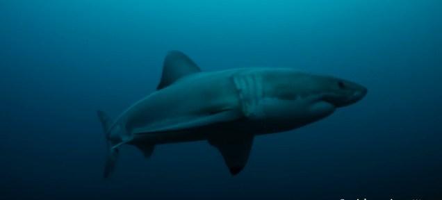 """""""Quái vật biển bí ẩn"""" ăn thịt cá mập trắng dài gần 3m 4"""