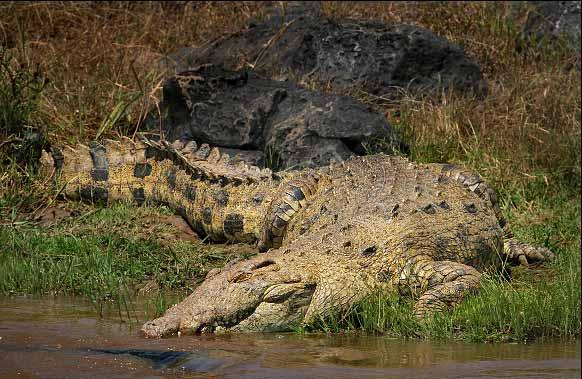 Kết quả hình ảnh cho cá sấu ăn thịt người