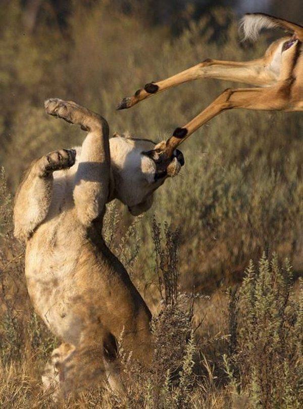 Linh dương thoát chết ngoạn mục trước hàm sư tử chột mắt 7