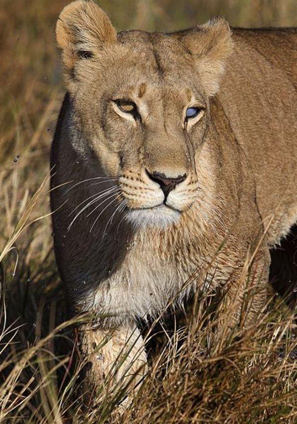 Linh dương thoát chết ngoạn mục trước hàm sư tử chột mắt 9