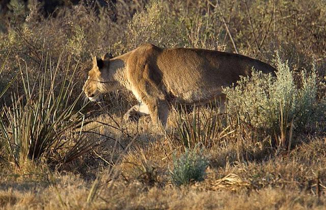 Linh dương thoát chết ngoạn mục trước hàm sư tử chột mắt 4