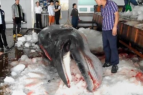 Kinh hãi cảnh sát hại dã man hàng chục con cá voi ở Nhật Bản 9