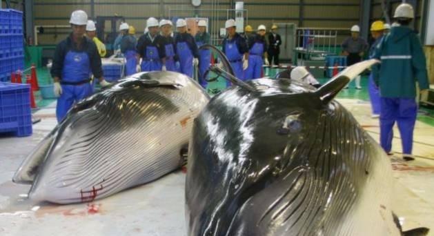 Kinh hãi cảnh sát hại dã man hàng chục con cá voi ở Nhật Bản 4