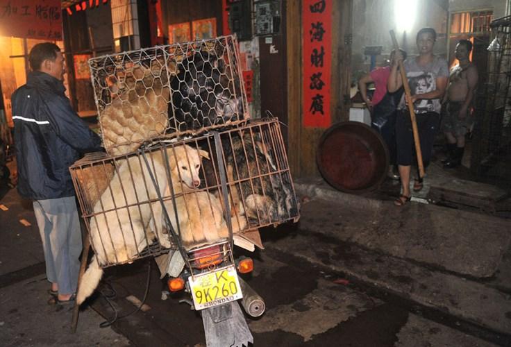 Rùng mình những hình ảnh khủng khiếp trong lễ hội ăn thịt chó  9