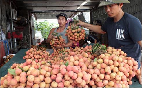 Việt Nam xuất sang Trung Quốc 1.700 tấn vải tươi mỗi ngày 6
