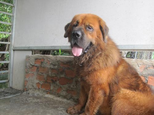 Thú chơi chó ngao tiền tỷ ở Sài Gòn 6