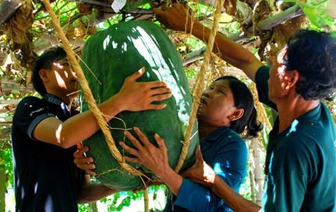 Bí đao khổng lồ nặng gần tạ ở Bình Định 5