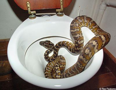 Kinh hãi chứng kiến rắn độc chui lên từ bồn cầu 7