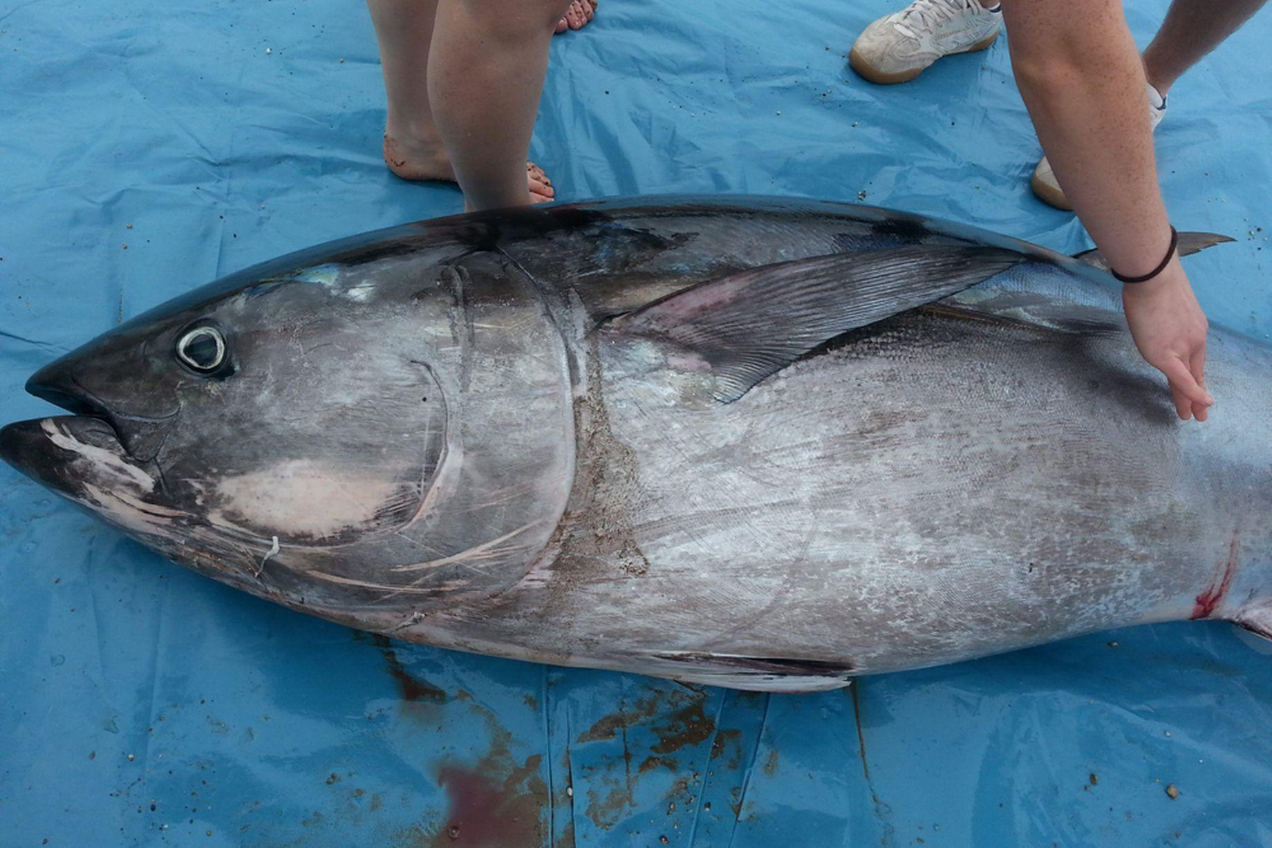 5 cô gái bắt được con cá ngừ khổng lồ trị giá hơn 35 tỷ đồng 8