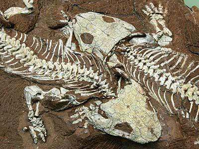 Phát hiện hoá thạch khủng long 4 cánh tại Trung Quốc 4