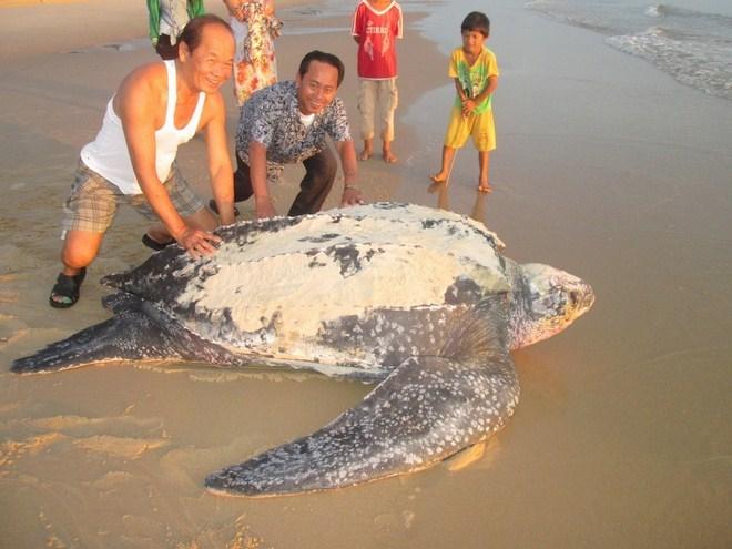 Phát hiện rùa dài 2 mét, nặng 200kg vào bờ biển đẻ trứng 5
