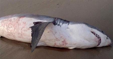 Cá mập trắng khổng lồ chết vì nghẹn sư tử biển 4