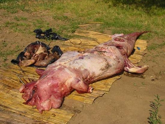 Kinh hãi mổ bụng cá sấu, tìm thấy thi thể người chưa phân huỷ 7