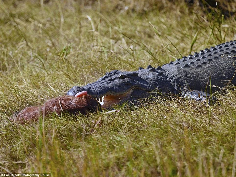 Kinh hãi xem cá sấu chúa nuốt chửng ngựa con 9
