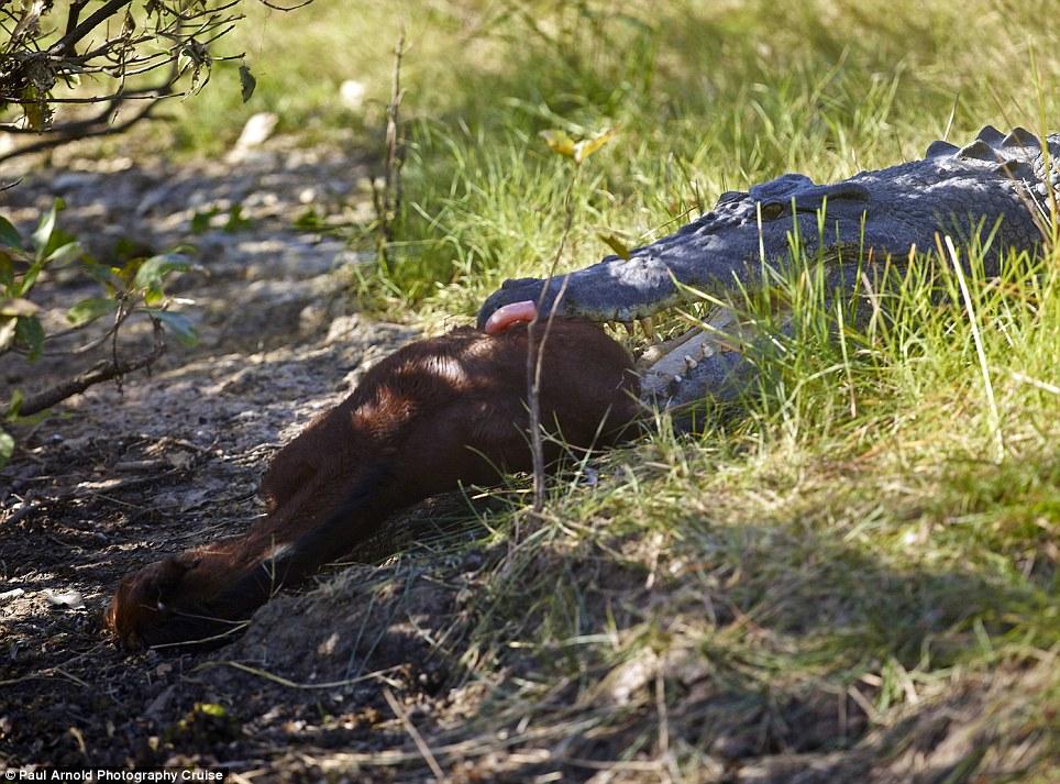 Kinh hãi xem cá sấu chúa nuốt chửng ngựa con 7
