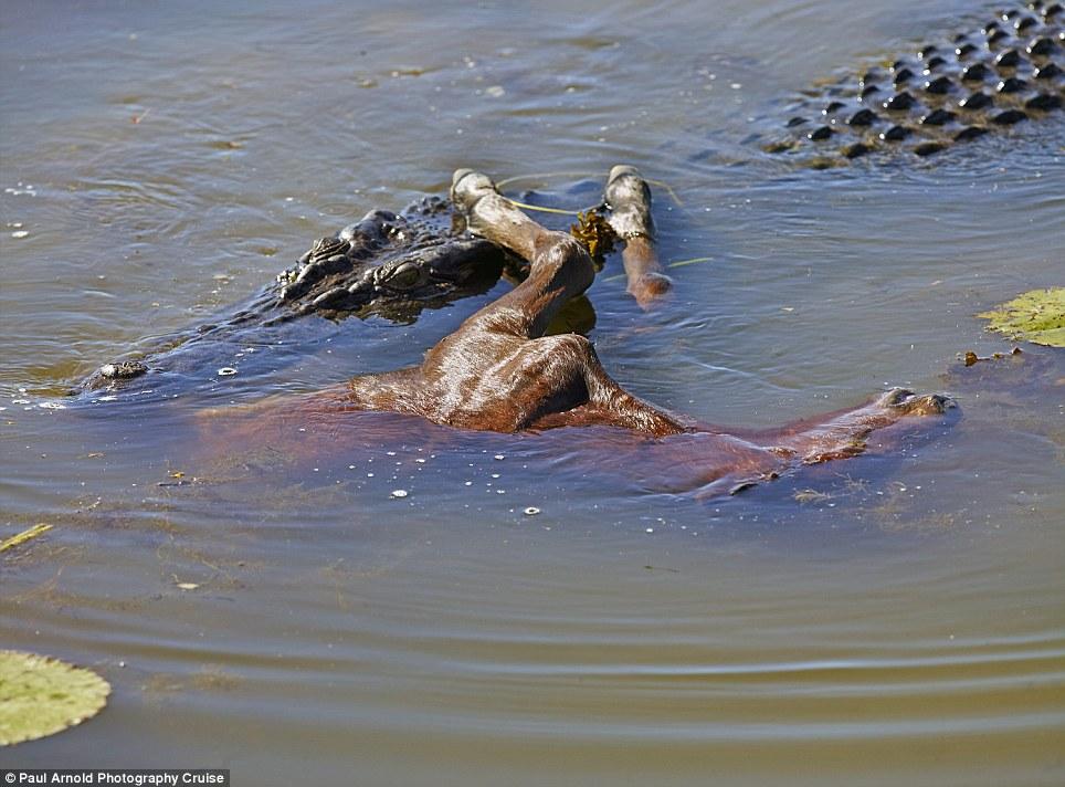 Kinh hãi xem cá sấu chúa nuốt chửng ngựa con 5