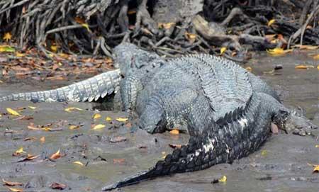 Kinh hãi xem cá sấu quẫn trí xẻ thị cả đồng loại 6