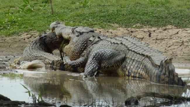 Kinh hãi xem cá sấu quẫn trí xẻ thị cả đồng loại 9