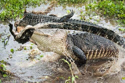 Kinh hãi xem cá sấu quẫn trí xẻ thị cả đồng loại 8