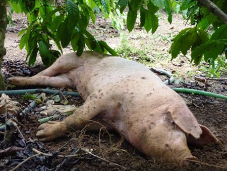Lượm xác lợn chết về ăn, 1 người tử vong 4