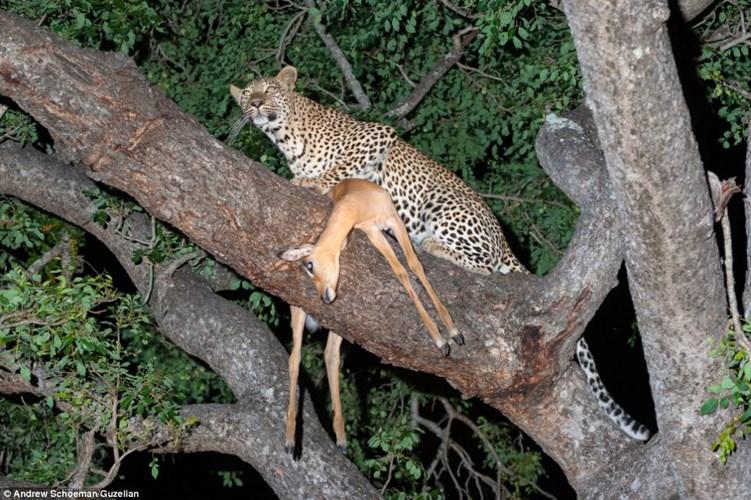 Sư tử trèo cây