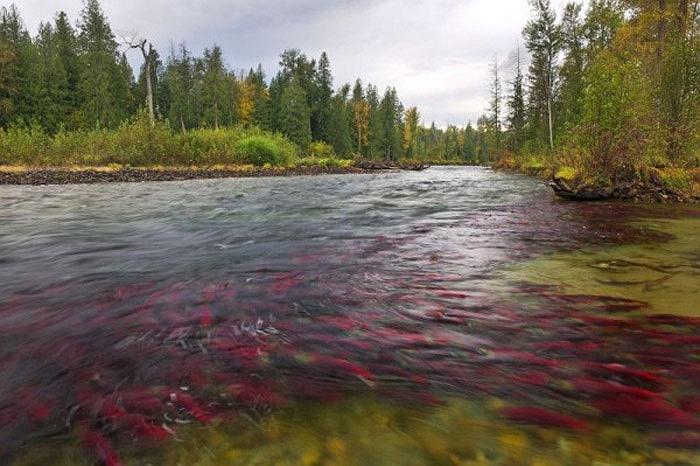 Cận cảnh dòng sông đỏ rực vì 10 triệu con cá hồi di cư 1