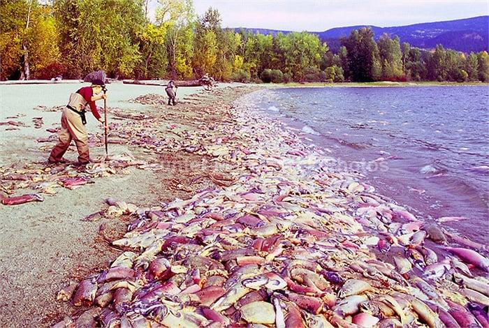 Cận cảnh dòng sông đỏ rực vì 10 triệu con cá hồi di cư 12