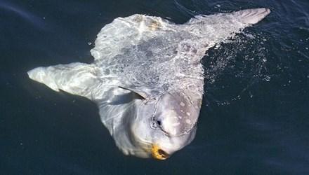 Hình ảnh Phát hiện những loài cá kỳ lạ cực hiếm trên thế giới số 4