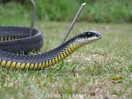 Tận mục loài rắn xanh Boomslang cắn người...tiểu ra máu 3