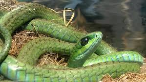 Tận mục loài rắn xanh Boomslang cắn người...tiểu ra máu 5