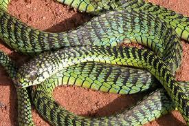Tận mục loài rắn xanh Boomslang cắn người...tiểu ra máu 1