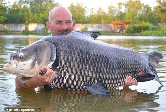 Cận cảnh cá chép lớn nhất thế giới bị tóm gọn