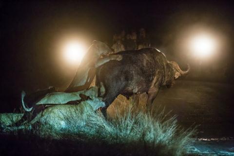 Trâu rừng đơn độc chống lại đàn sư tử đói mồi 6