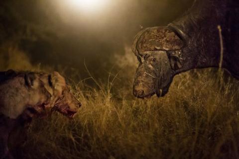 Trâu rừng đơn độc chống lại đàn sư tử đói mồi 4