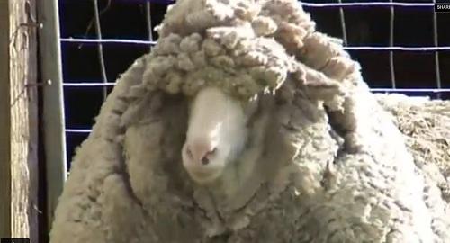 """Chú cừu 6 tuổi có bộ lông """"khủng"""" nhất thế giới 8"""