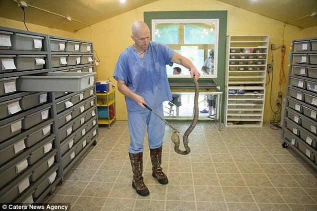 Cận cảnh công việc của người đàn ông tay không trích nọc độc rắn 7