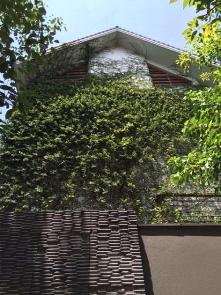 Hình ảnh Cây leo trèo biệt thự, mốt mới của nhà giàu Thủ đô số 3