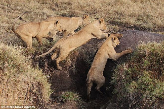 Hà mã khổng lồ đơn độc đánh bại 4 con sư tử hung dữ 6