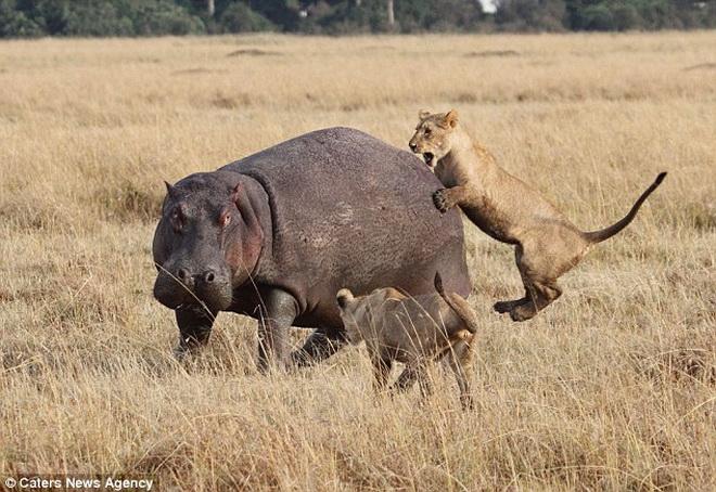 Hà mã khổng lồ đơn độc đánh bại 4 con sư tử hung dữ 9