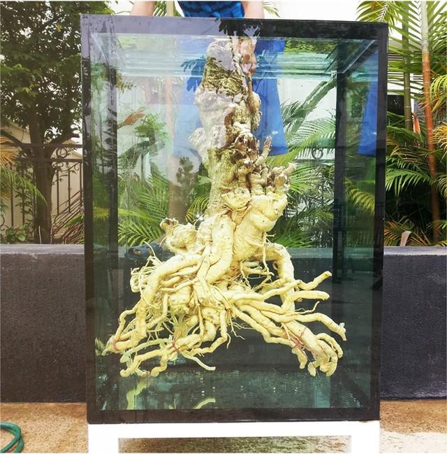 Gốc đinh lăng 62 năm tuổi ở Hà Nội có giá bạc triệu 4